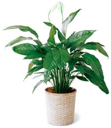Get Well Spathiphyllum