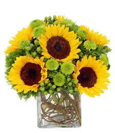 Fields of Sunflowers